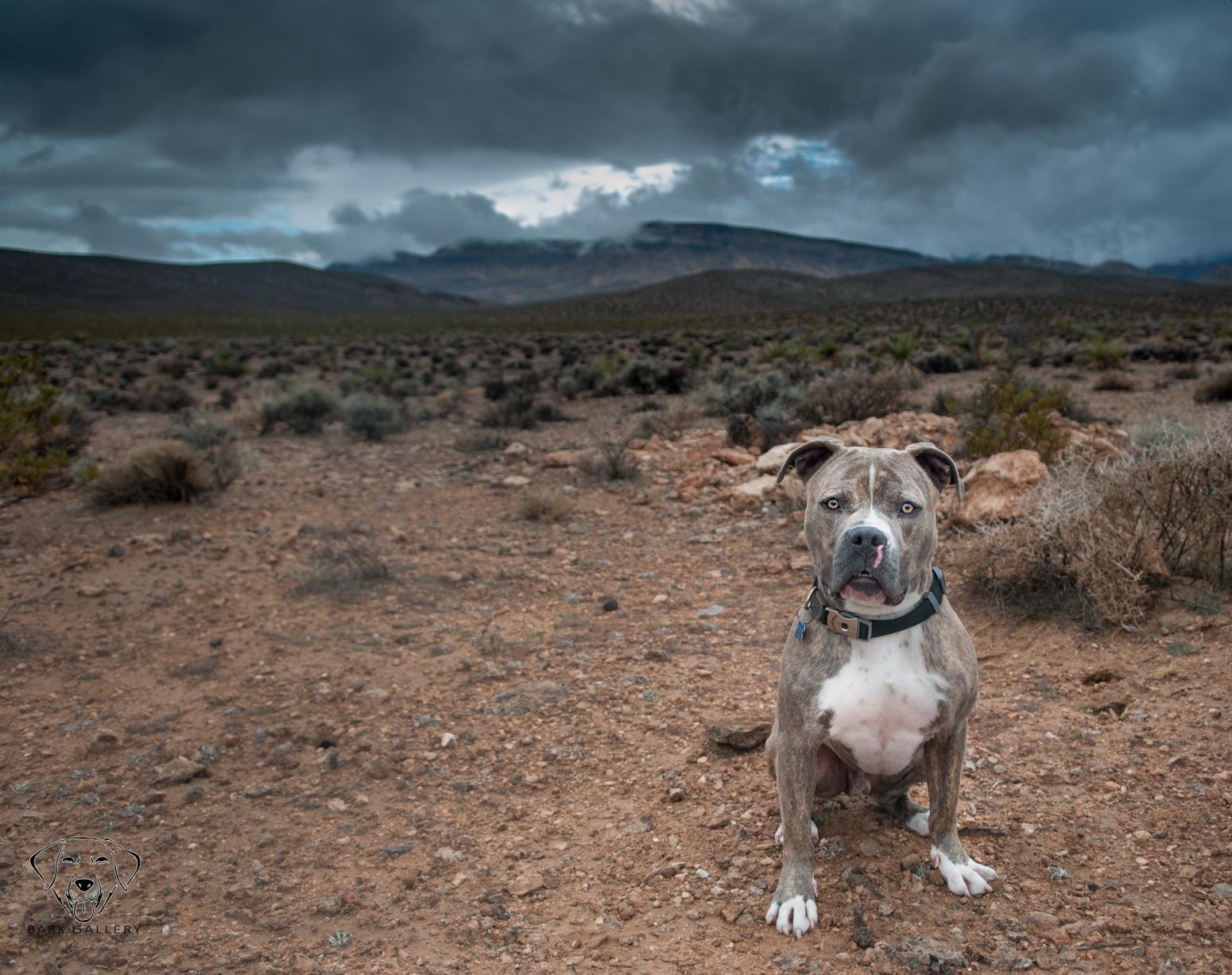 pitbull-desert-outdoor-dog-portrait