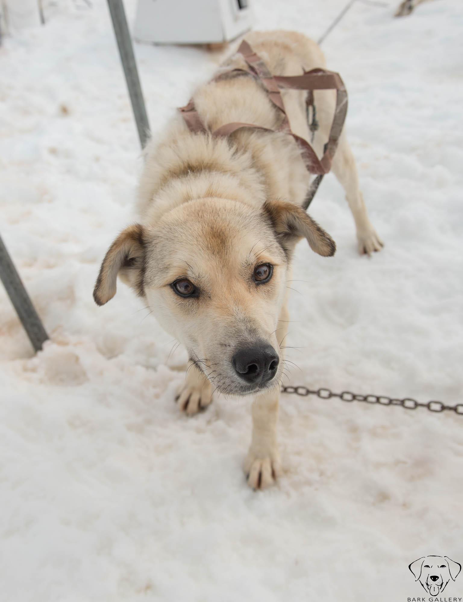 sled-dogs-alaska