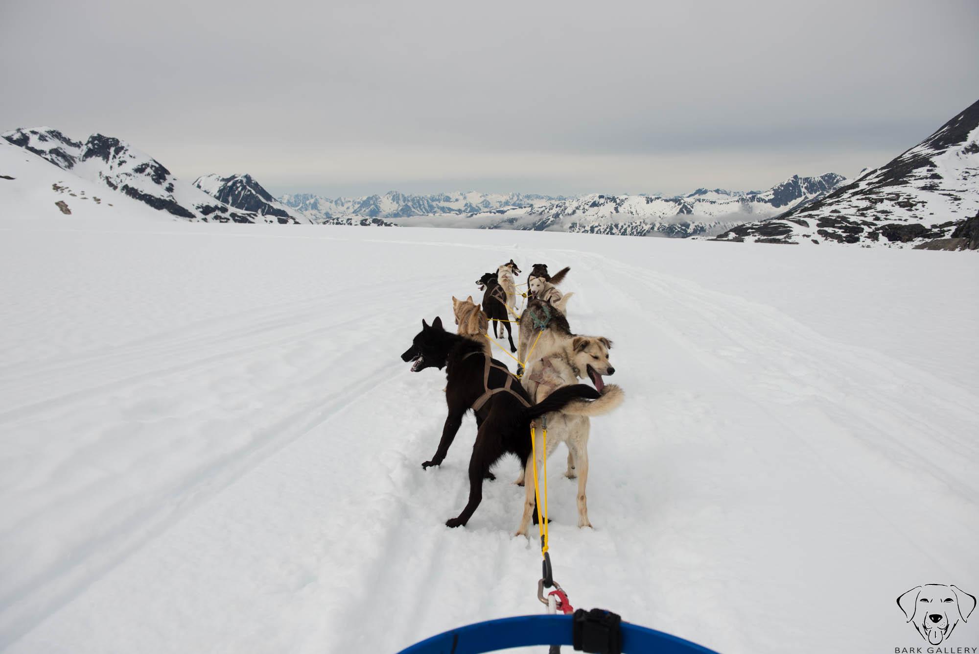 skagway-alaska-dogs