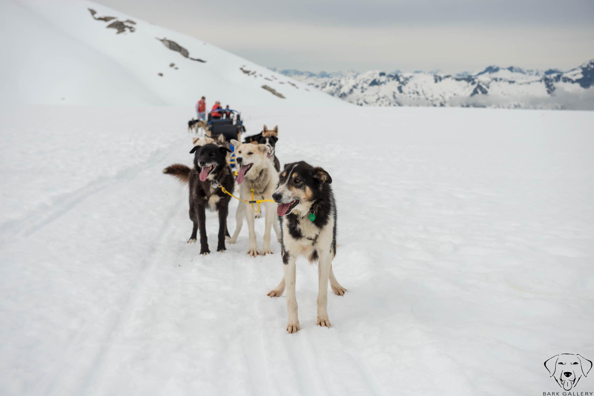 snow-dogs-sledding-mushing