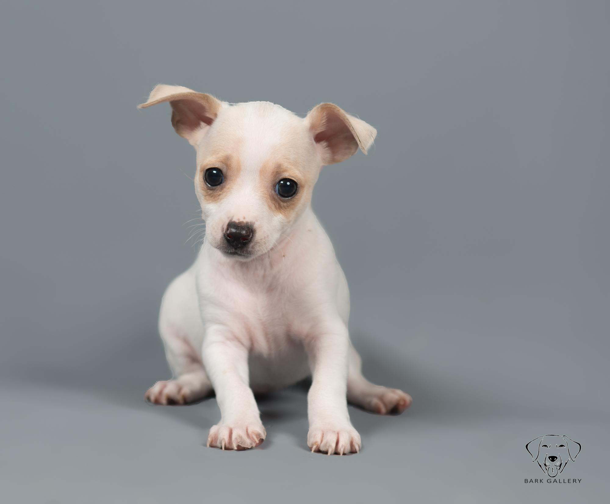 puppy-portrait-photographer-vierkandt-rick