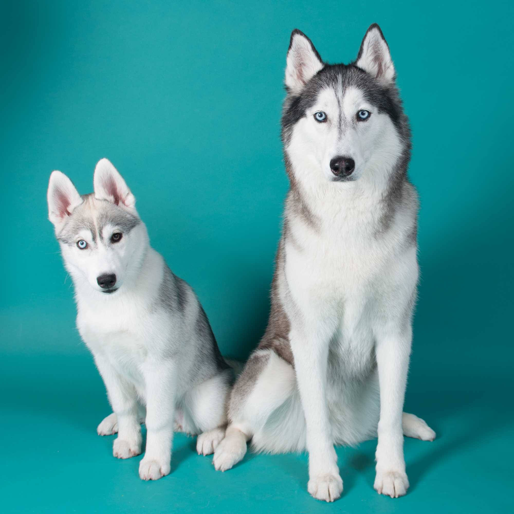 Husky- Dog Studio