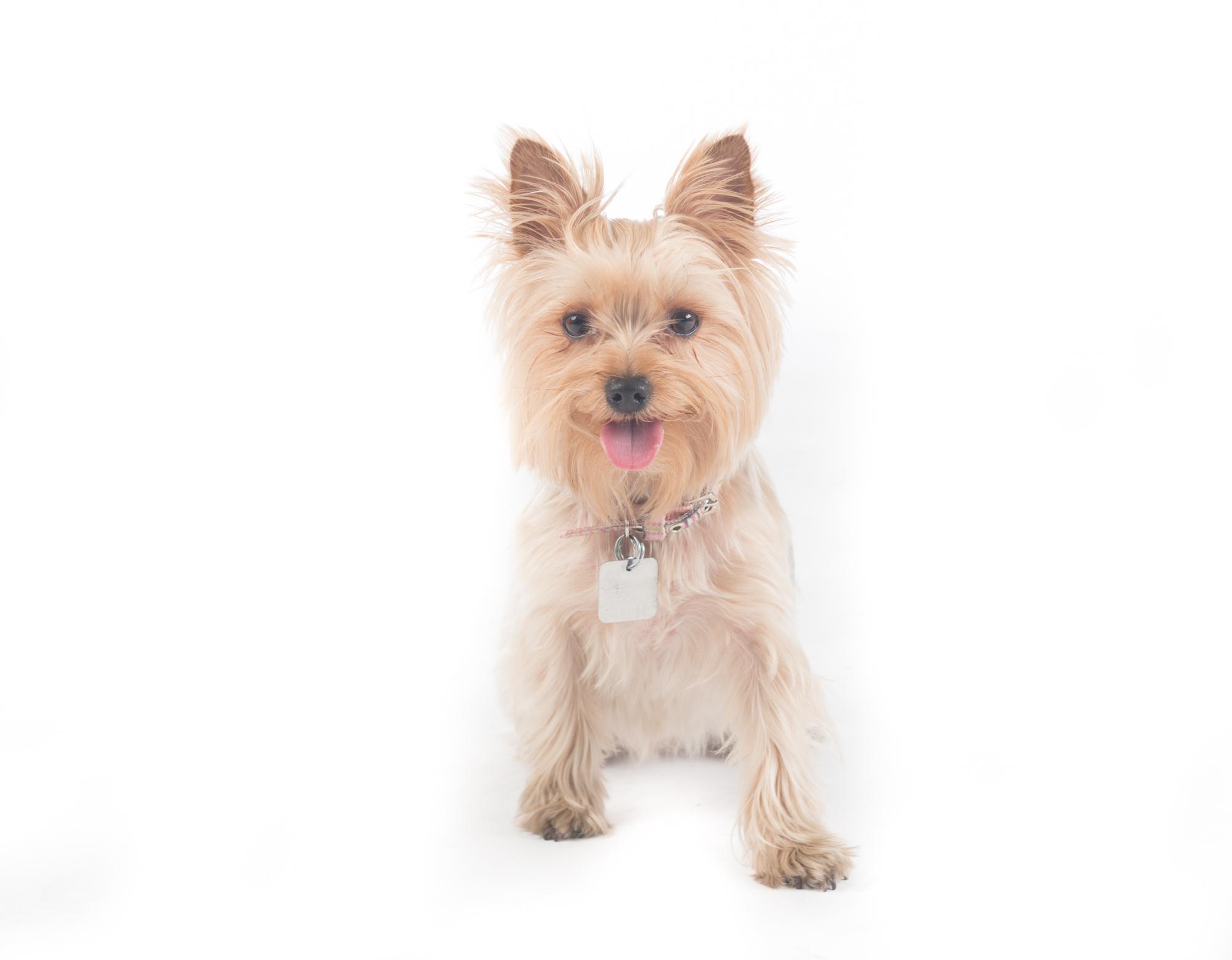 Yorkie - Las Vegas Pet Photography