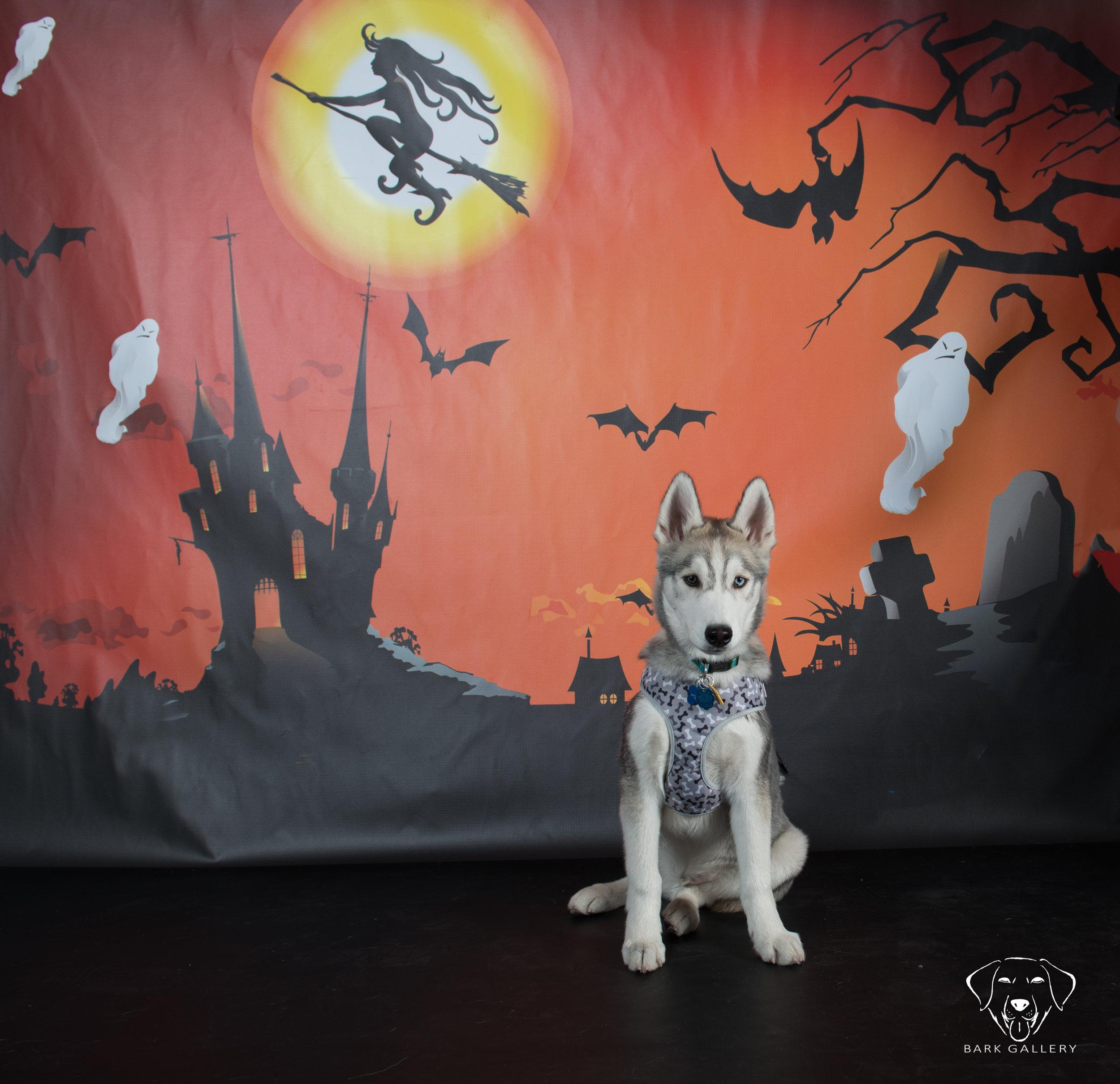 husky-dog-photographer-vegas