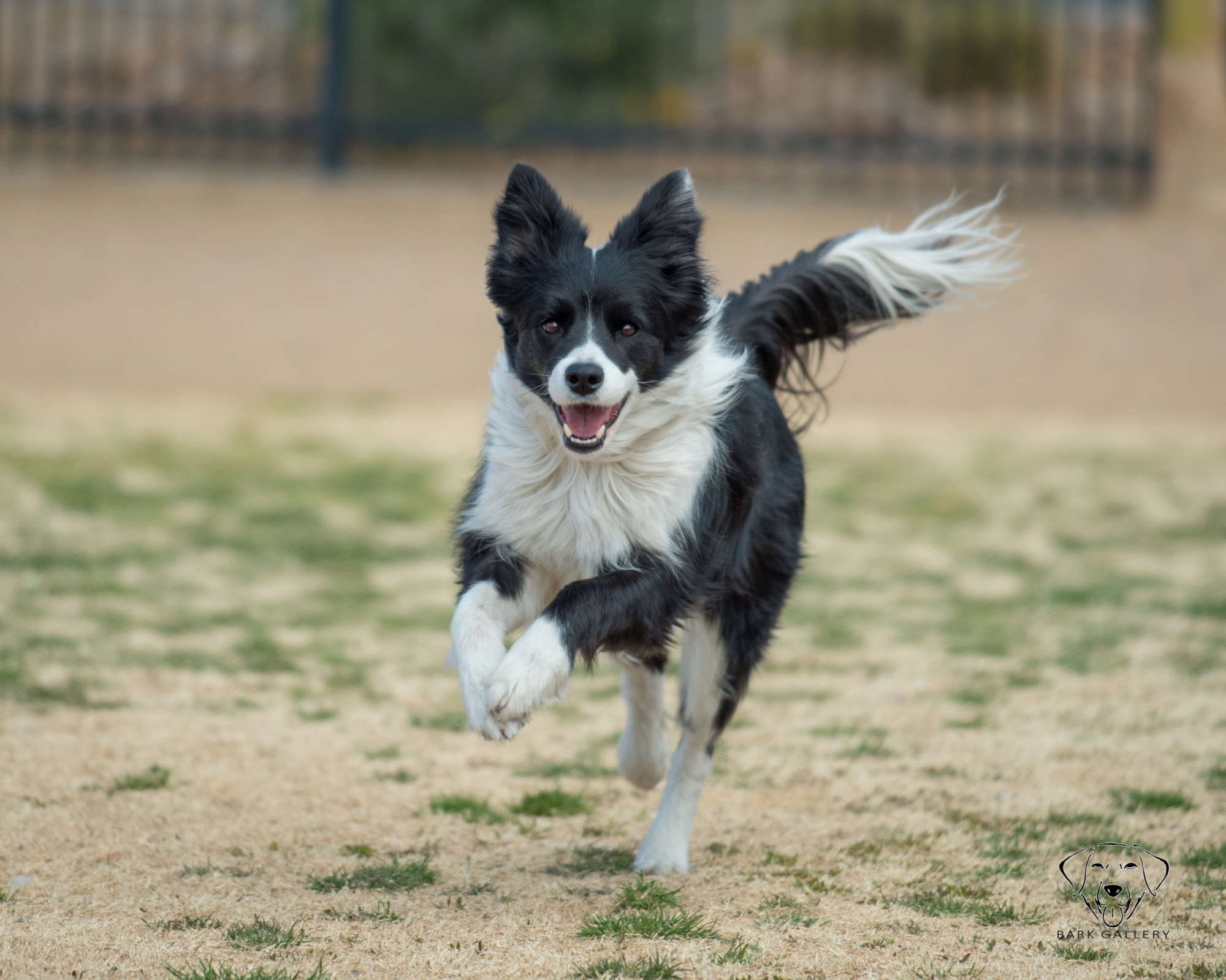 border-collie- dog-vegas-photography