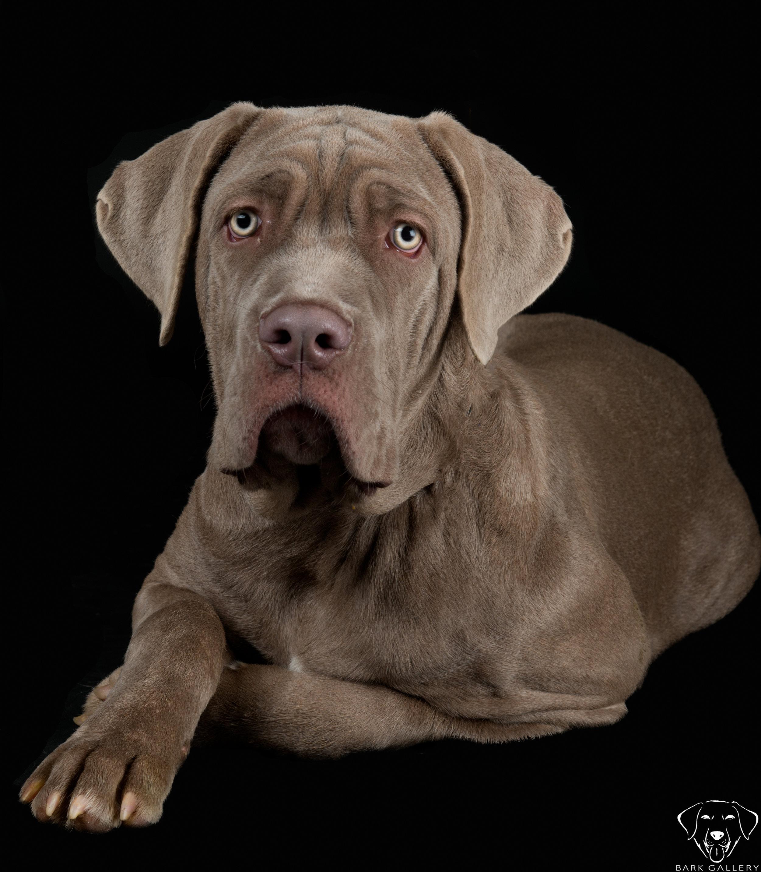 mastiff-puppy-studio-portrait-vegas
