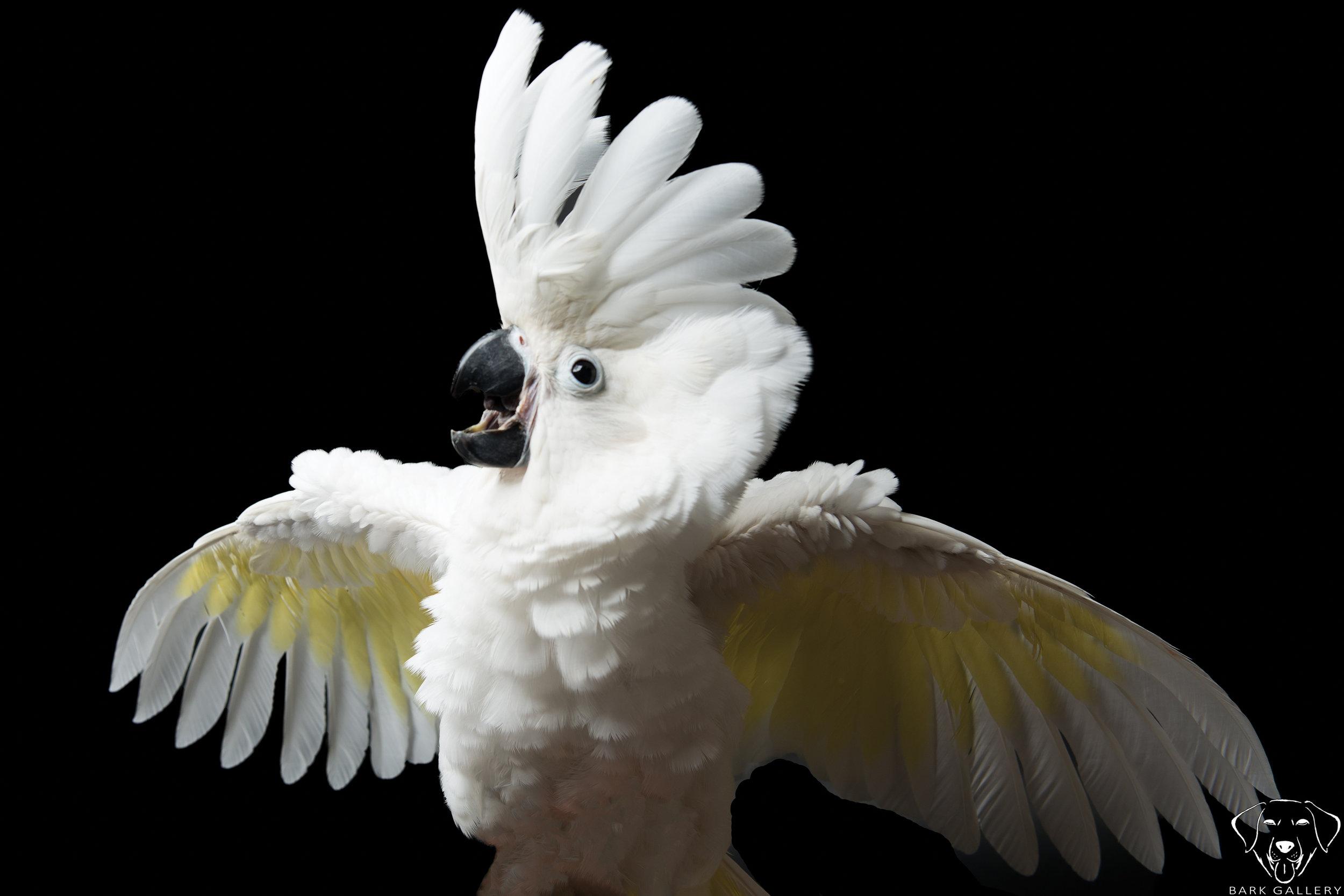 bird-cockatoo- studio