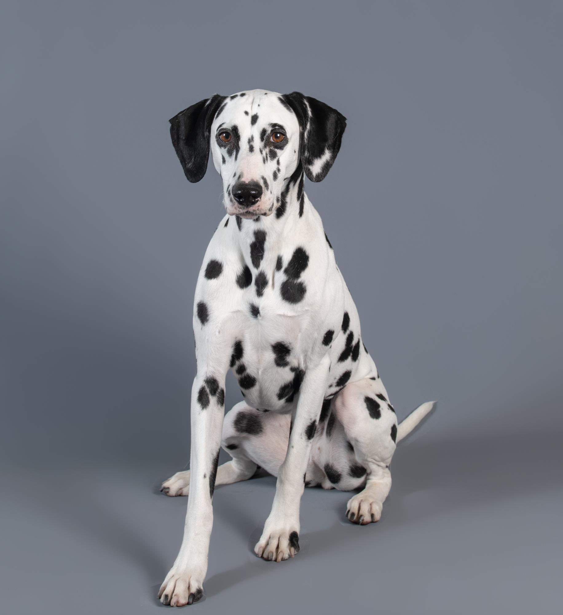 Dalmatian Studio Portrait