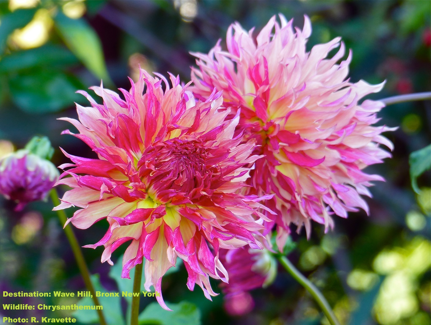 The chrysanthemums seemed to glow in one of Wave Hill's many gardens. IMAGE: ©R. KRAVETTE .