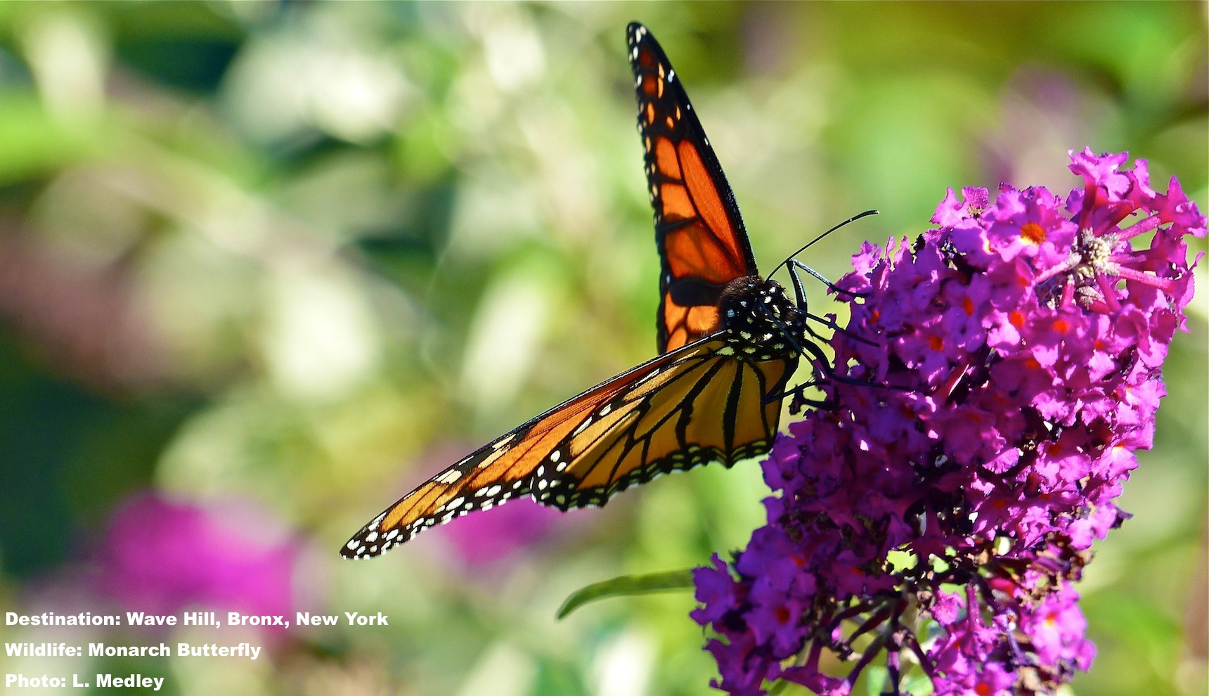 This was exactly the right place and today was exactly the right time. Monarch butterfly in the garden at Wave Hill, The Bronx, New York. Image: ©R. Kravette