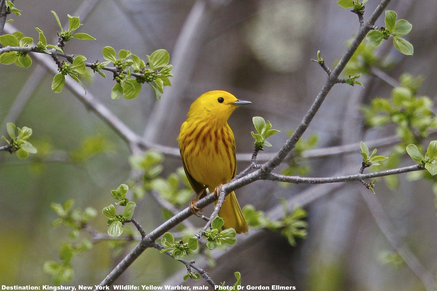 """Do you think he's a """"cute bird""""? Or did you get up a 4AM, grab binoculars, camera & species app specifically to find, identify and life-list him? In either case this yellow warbler is one of 41 types of warbler found in New York State. Image: ©Dr. Gordon Ellmers"""