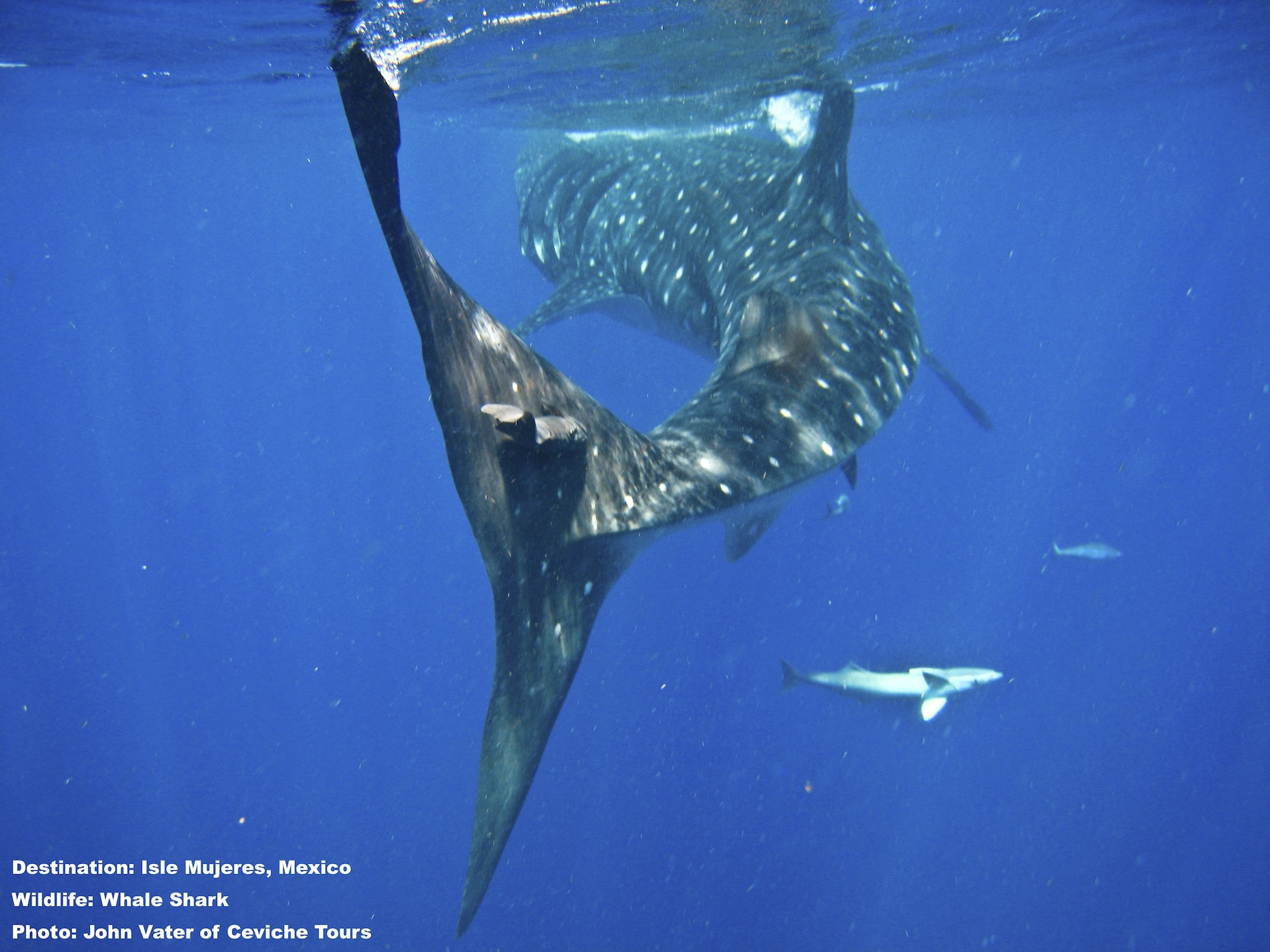 This tail can do serious damage. Annoyed whale sharks have been known to flick their massive tail at something bothering them. Since an adult whale shark can be 273 times the weight of 150 pound (68k) human swimmer, it is best to give them space. Image: Courtesy of John Vater, Ceviche Tours, Isla Mujeres, Mexoco.