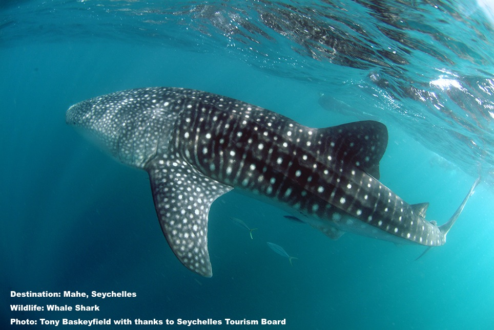 Whale sharks are sensitive to changes in water temperature. In 2015 they became scare in their traditional migratory route through the Seychelles Islands. It is hoped that with the end of the strongest El Nino in 18 years, the whale sharks will return to these waters. Image: Courtesy of Tony Baskeyfield and The Seychelles Tourism Board.