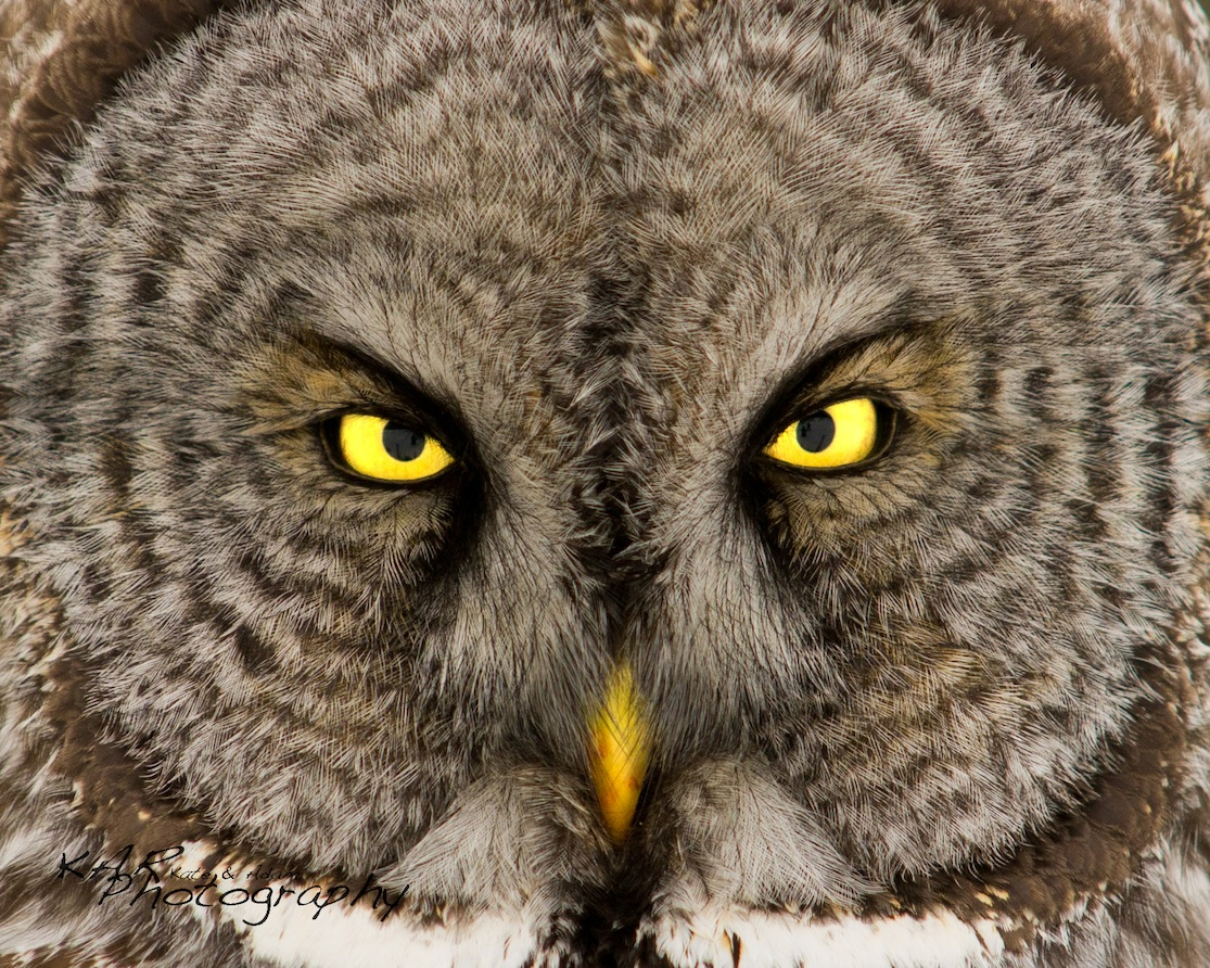 """We want people to get a glimpse into the spirit of the animal"", Kate & Adam Rice, KAR Photography. Great grey owl eyes. Image: Thanks to ©KAR Photography"
