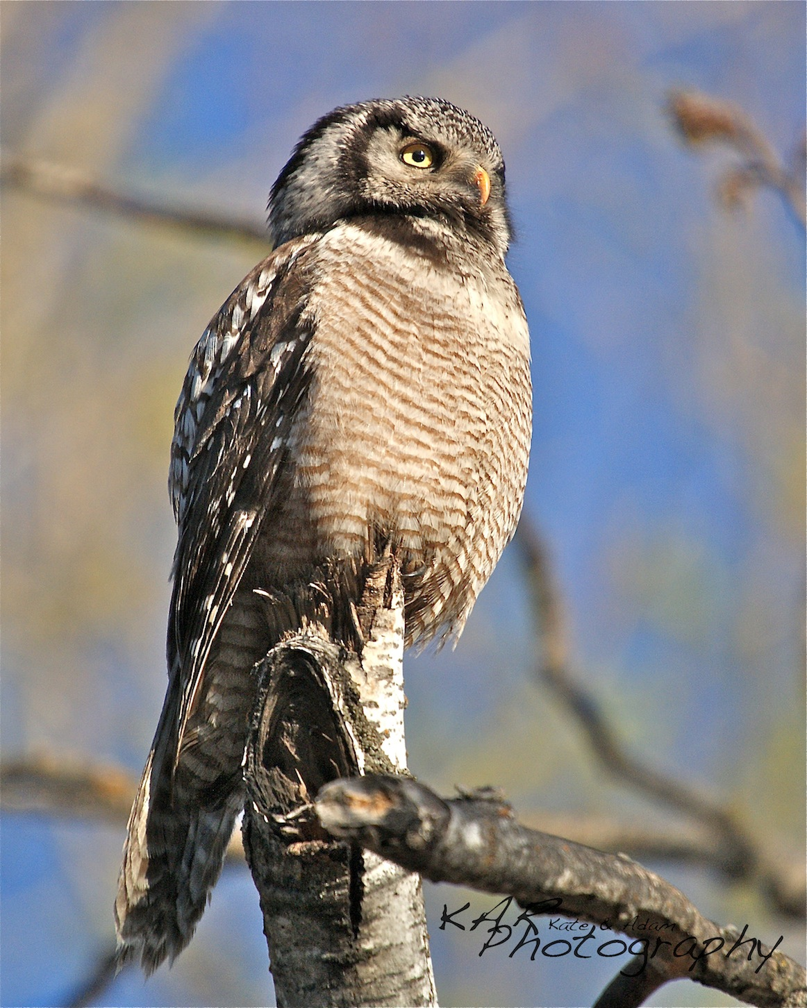 "Kate and Adam: ""The secret of wildlife photography is being able to anticipate animal behavior"". Their first lessons came from owls like this Northern hawk owl in Minnesota. Image: Thanks to ©KAR Photography."