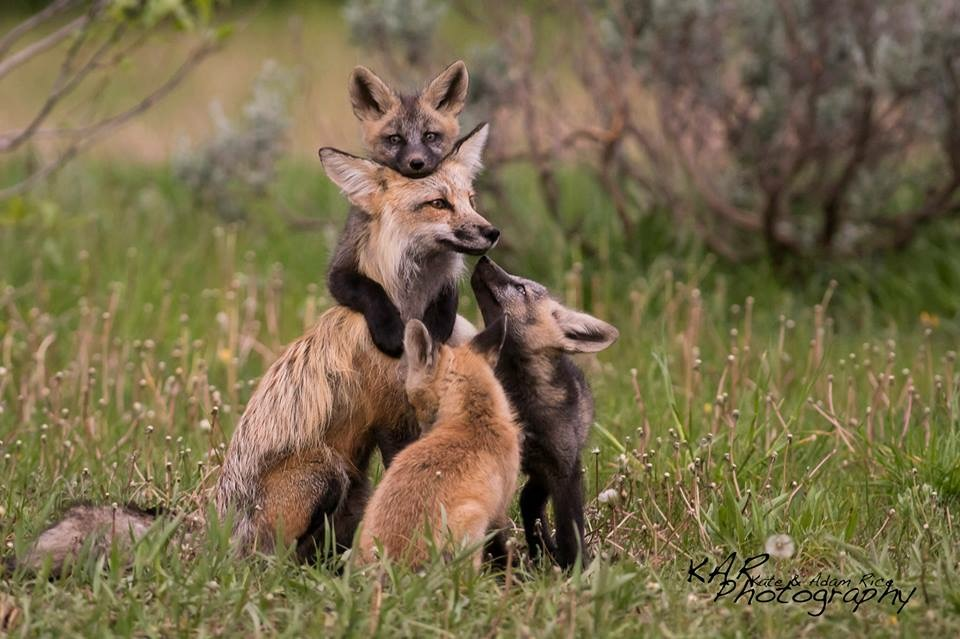 Patience pays off when mama red fox brings her mixed red and cross colored kits out into the field. Image: Thanks to ©KAR Photography.