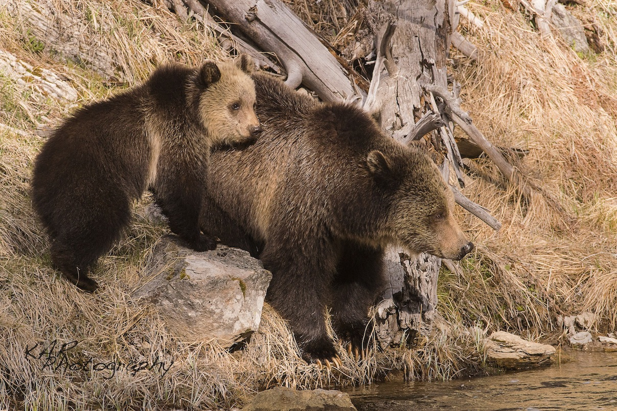 "The KAR team has been able to get some impressive grizzly bear images like this one taken in Yellowstone National Park, Wyoming. Says Kate, ""... seeing a grizzly bear - its indescribable. Just knowing a grizzly is in the area puts you on high alert: Image: Thanks to KAR Photography"