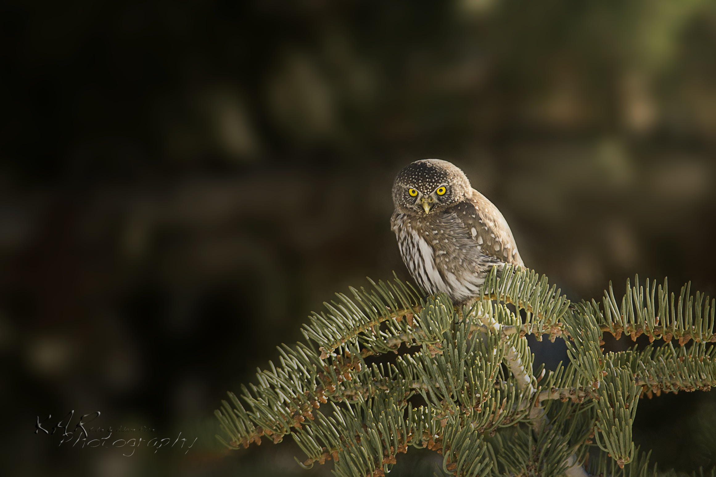 "A Northern pygmy owl (finally) caught sitting still. Says Adam, ""We know the pain of shooting wildlife!"" Image: Thanks to ©KAR photography."