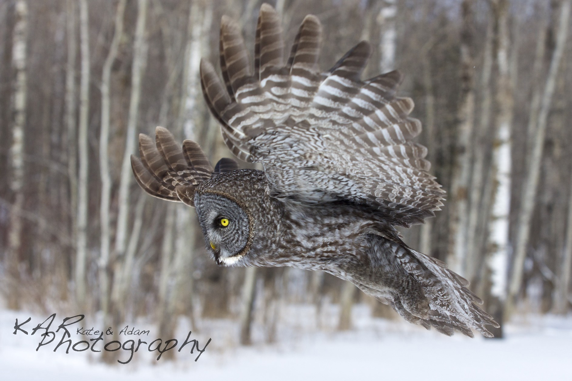 Keep your eye on Kate & Adam Rice as they keep their lens on the fabulous wildlife of the American west. Great grey owl. Image: Thanks to Kate and Adam Rice, ©KAR Photography.