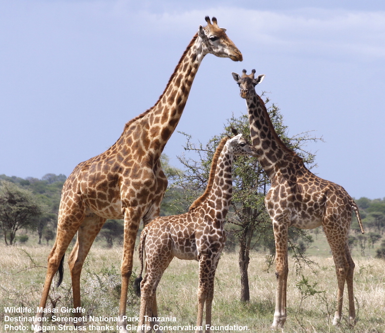 Serengeti National Park, Tanzania is home to the Masai giraffe as well as the location of the great wildebeest migration Image: ©Megan Strauss with thanks to the Giraffe Conservation Foundation