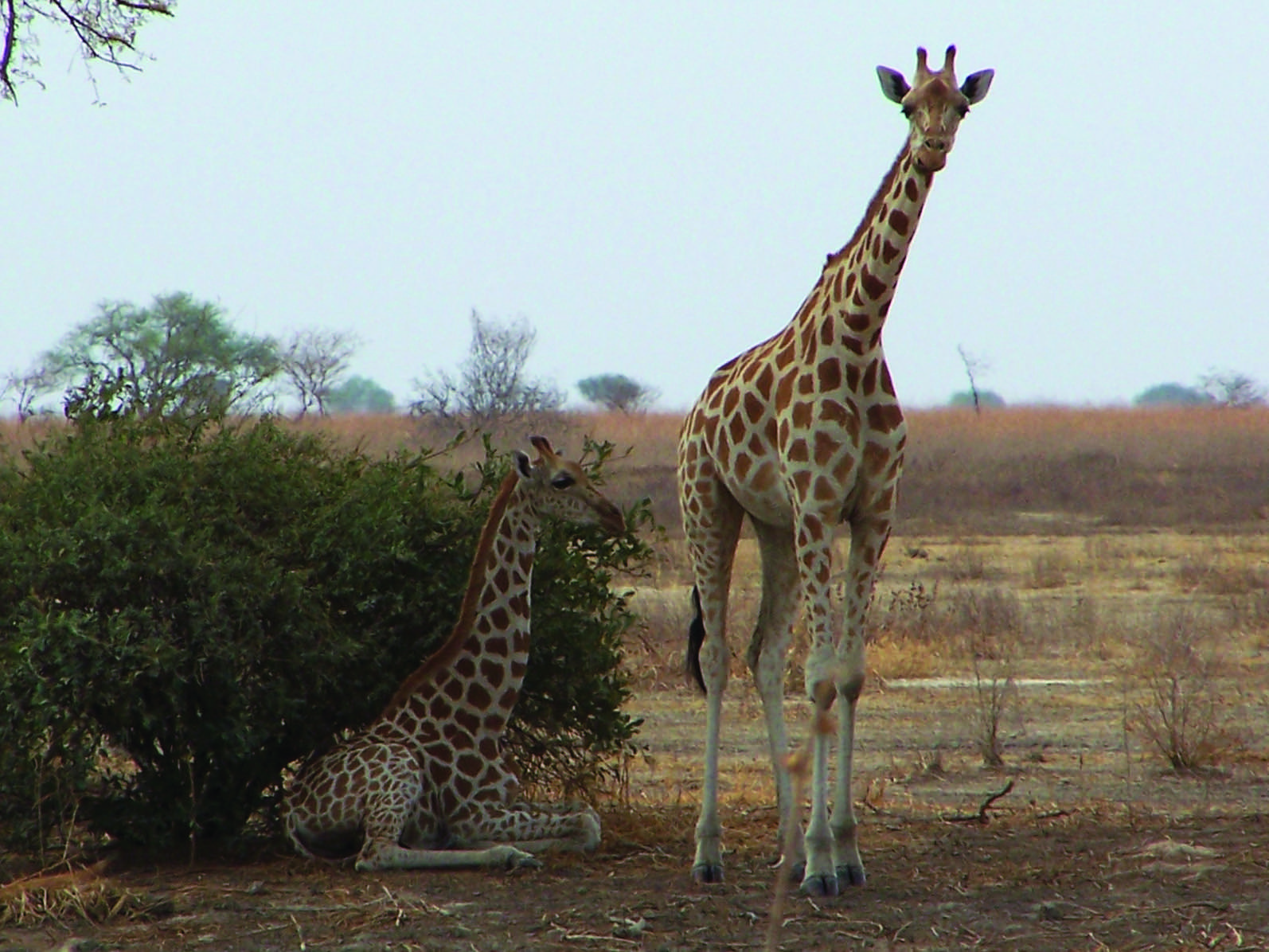 Camaroon's Waza National Park was named a UNESCO Biospere Reserve due to its amazing biodiversity, including these Kordofan giraffes. Image: ©M.Schoe with thanks to Giraffe Conservation Foundation.