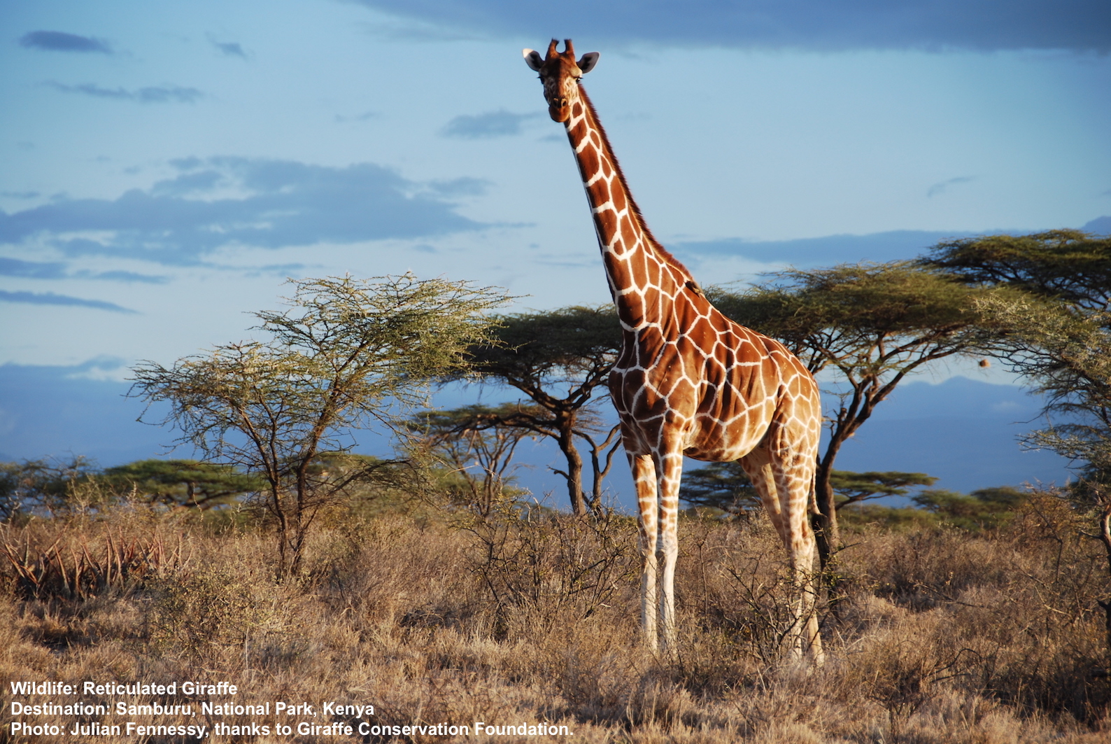 Reticulated Giraffe in Samuru National Park, Kenya. Image ©Julian Fennesy with thanks to Giraffe Conservation Foundation.
