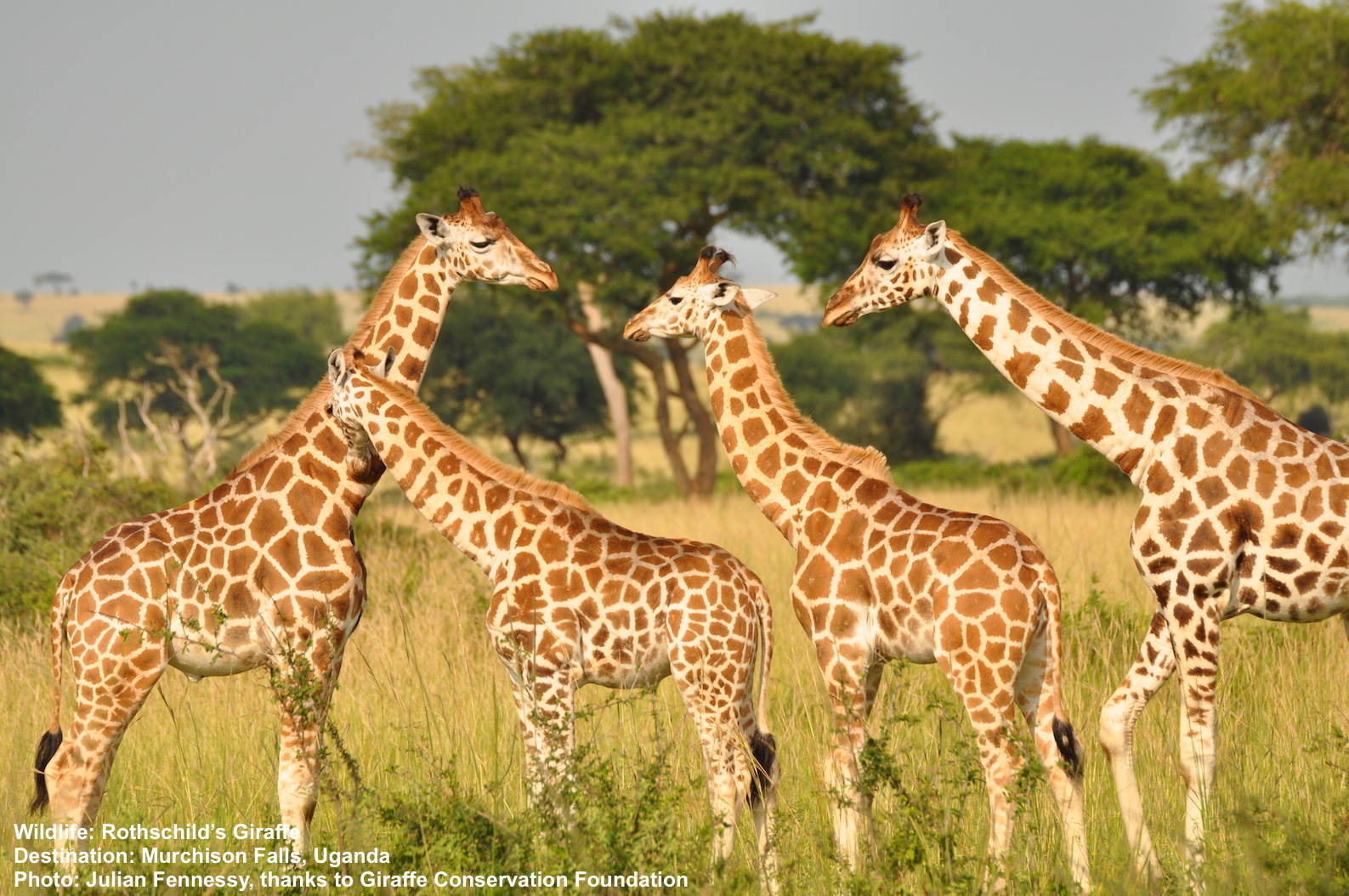 A herd ofWHAT WAS CALLED Rothchild's giraffe WHEN THIS IMAGE WAS TAKEN in Murchison Falls, Uganda. Image Julian Fennesy with thanks to Giraffe Conservation Foundation.