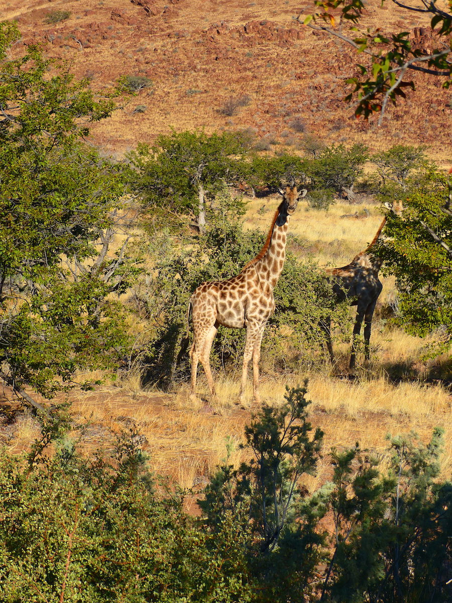 Giraffes browsing among the acacias. Look for taller males feeding on the very tops of the trees. Image: © R. Kravette for Destination: Wildlife Destination: Palmwag Concession, Namibia