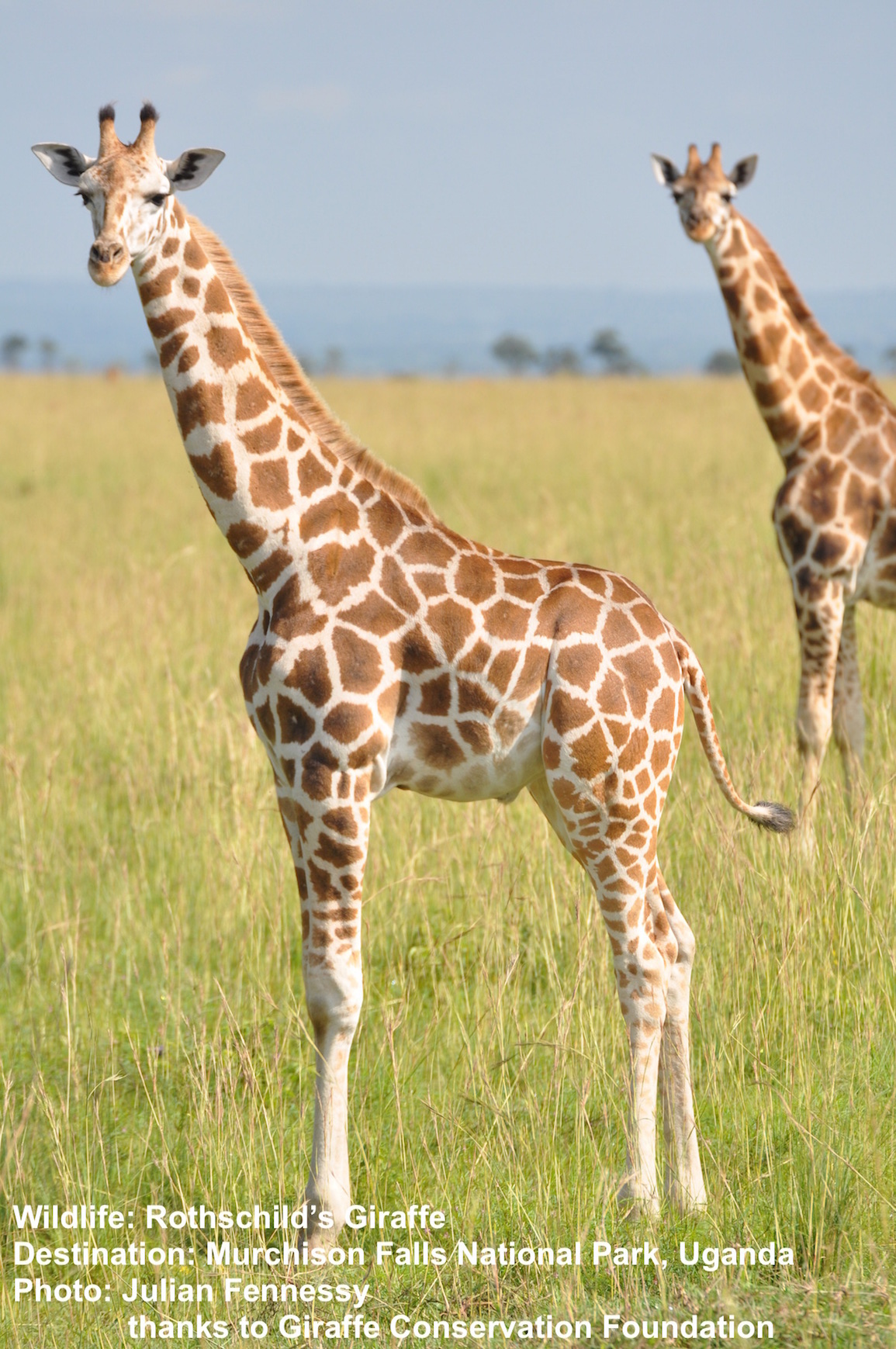 Uganda's much storied Murchison Falls National Park is home to WHAT WAS PREVIOUSLY THOUGHT TO BE the Rothchild's giraffe, NOW THE NORTHERN GIRAFFE SPECIES. Image Julian Fennesy thanks to Giraffe Conservation Foundation.