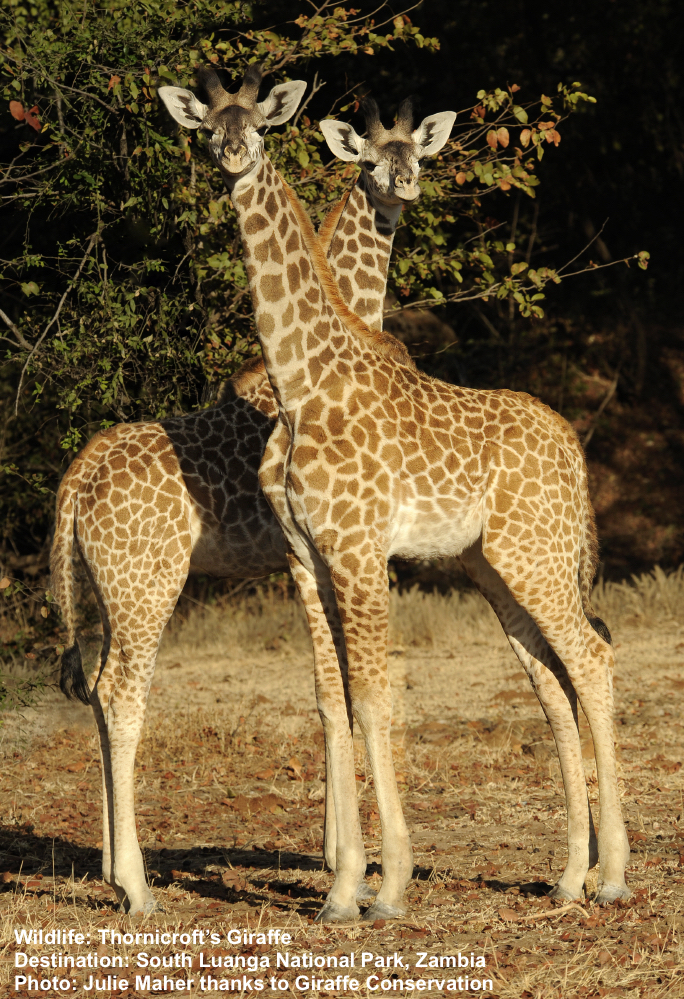 what was once called the Thornicroft's Giraffe might be seen in Zambia's South Luanga National Park. Image: Julie Maher with thanks to Giraffe Conservation Foundation.