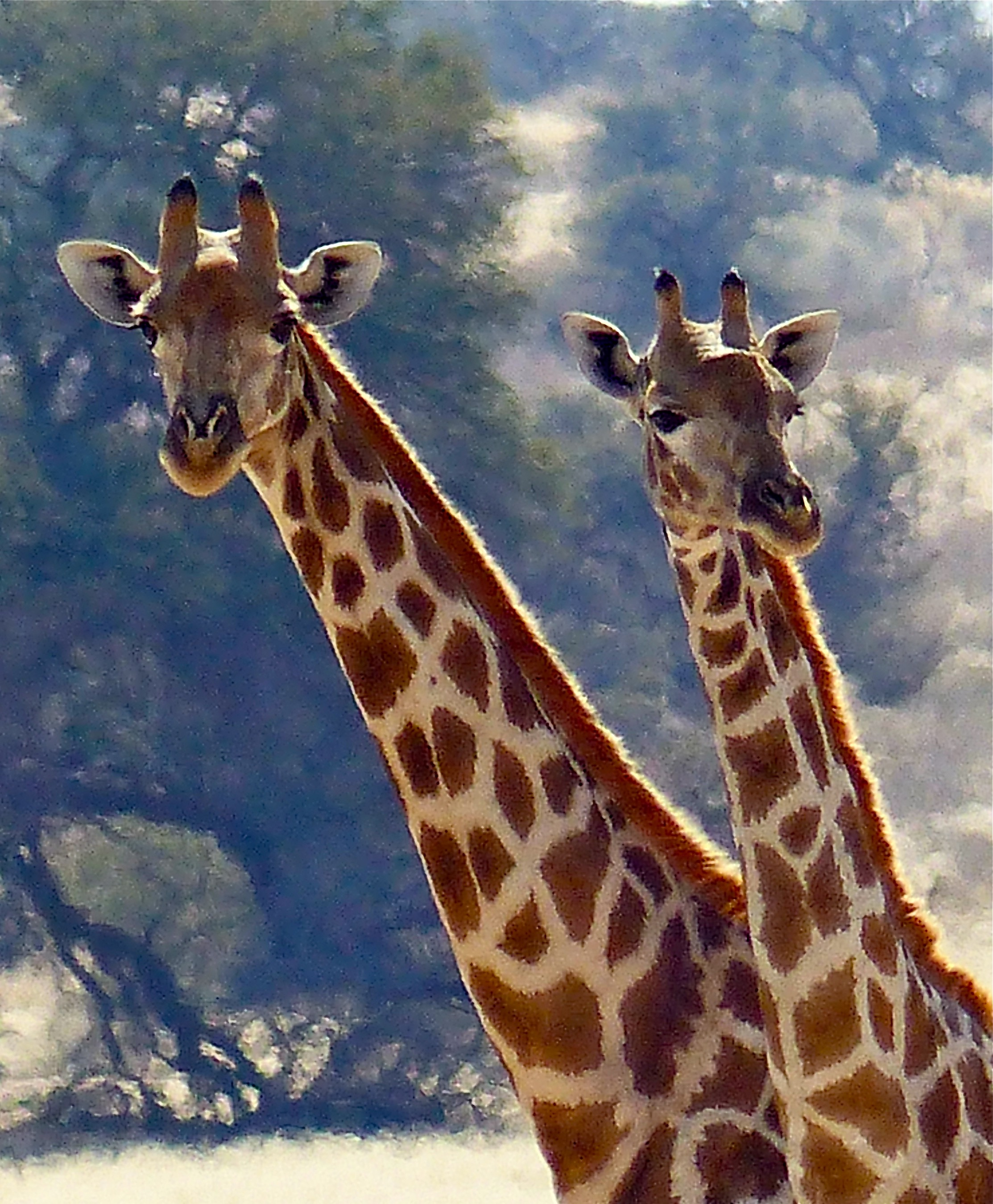 Giraffes are naturally curious. Be very quiet when watching giraffes in the wild, even in your car. Wait and be patient. You may find the giraffes come over to watch you. Image: ©R.Kravette for Destination: wildlife