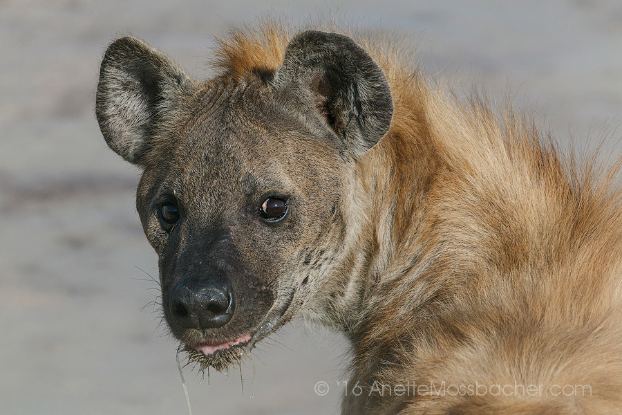 Portrait of a Spotted Hyena, Etosha national Park, namibia. What camera equipment should a wildlife traveler bring? 2 good lenses, with wide ange and zoom capabilities. BUT KNOWING your camera inside and out comes first - right after patience! Image: Courtesy of ©Anette Mossbacher
