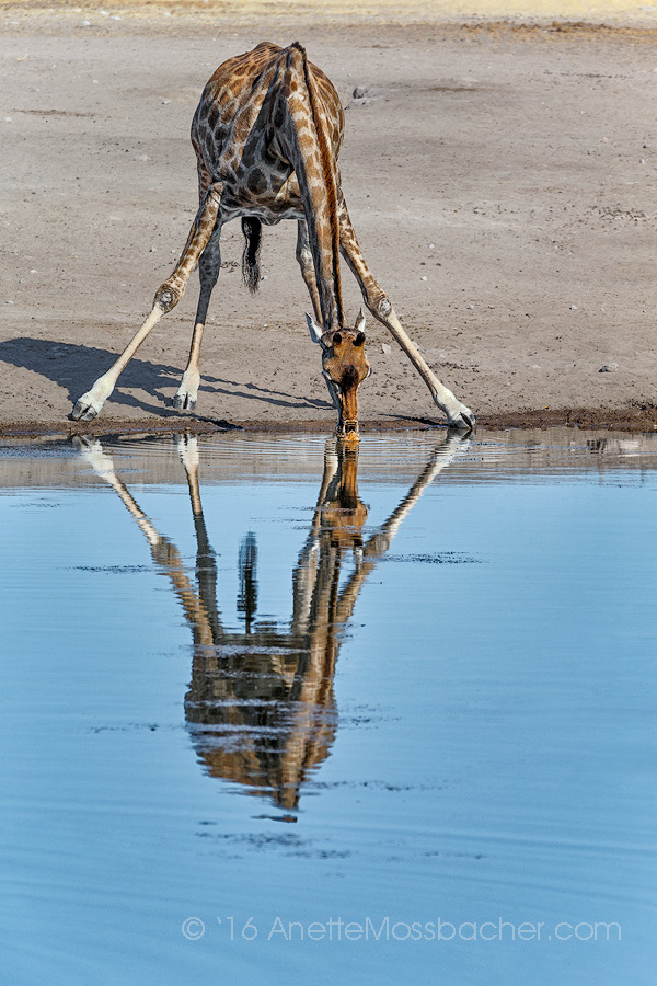 Giraffe at watering hole, Etosha National PArk, Namibia. Settle in at a watering hole for an hour or two, Anette suggests, best time? Early mornings or evenings. Image: Courtesy of ©Anette mossbacher