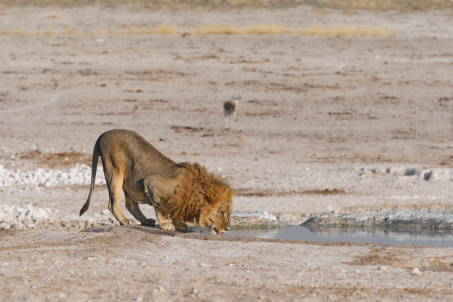 "Lion at watering hole, Etosha National Park, Namibia Anette's best advice when in the wild, ""Open eyes and ears very wide!"" Image: Courtesy of ©Anette Mossbacher"