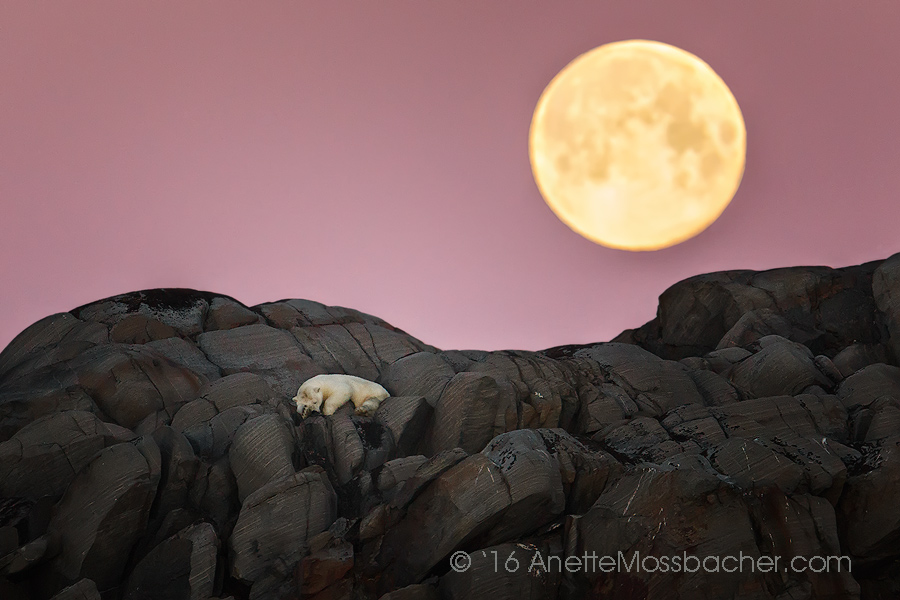 "Polar Bear sleeping under the moon, Svalbard in the arctic north. She says,"" It was like winning the jackpot at one side ... and on the other side, very over whelming with emotions."" to get the image she had to find her balance, getting in the rhythm of the waves on a wobbly zodiac in open frigid water! Image: Courtesy of ©Anette Mossbacher"