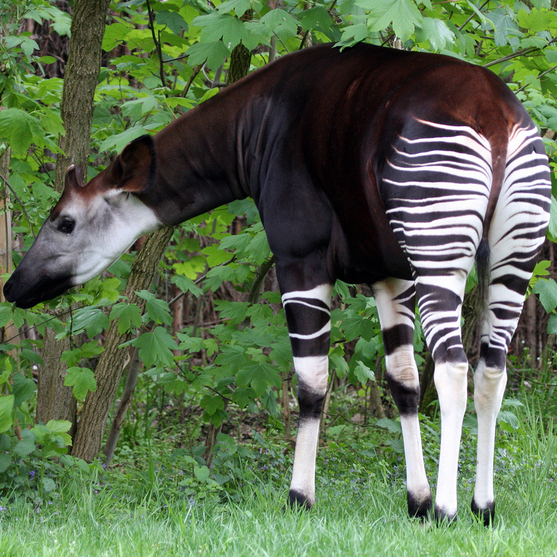 The endangered and declining okapi, Giraffe's Closest relative, are found only iIN the Democratic Republic of Congo's rainforest. This image was superimposed over a deciduous wooded background by the photographer. Image:  ©Marclschauer Dreamstime. com
