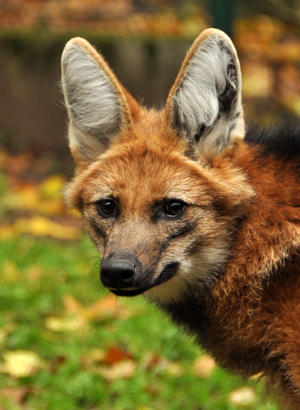 Portrait of a maned wolf. Although hunting them is illegal in most of their range, numbers remain low. Captive breeding programs may help preserve this IUCN assessed Near Threatend species.Image:  ©Zannahol⎮dreamstime.com