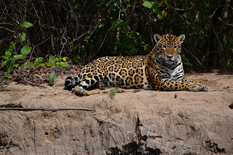 This jaguar is having an afternoon rest on a river bank. The big cats are more active at night. Take an evening game tour. Image:  ©Shlomic⎮dreamstime.com