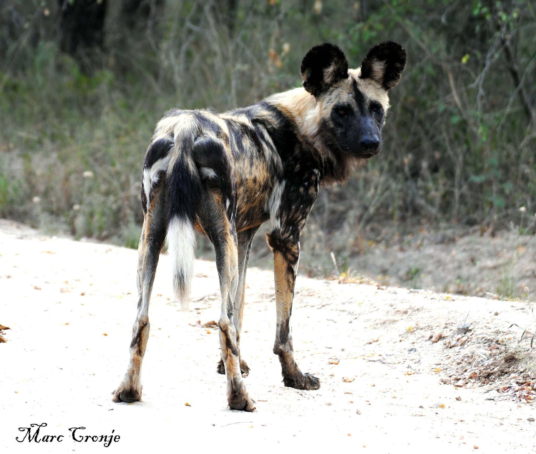 """Don't let this be 'good-by"""" to painted dog - seek them out and send us your adventures! Image: Thanks to ©Marc Cronji, Independent Field Guide. Destination: Kruger National Park, South Africa"""