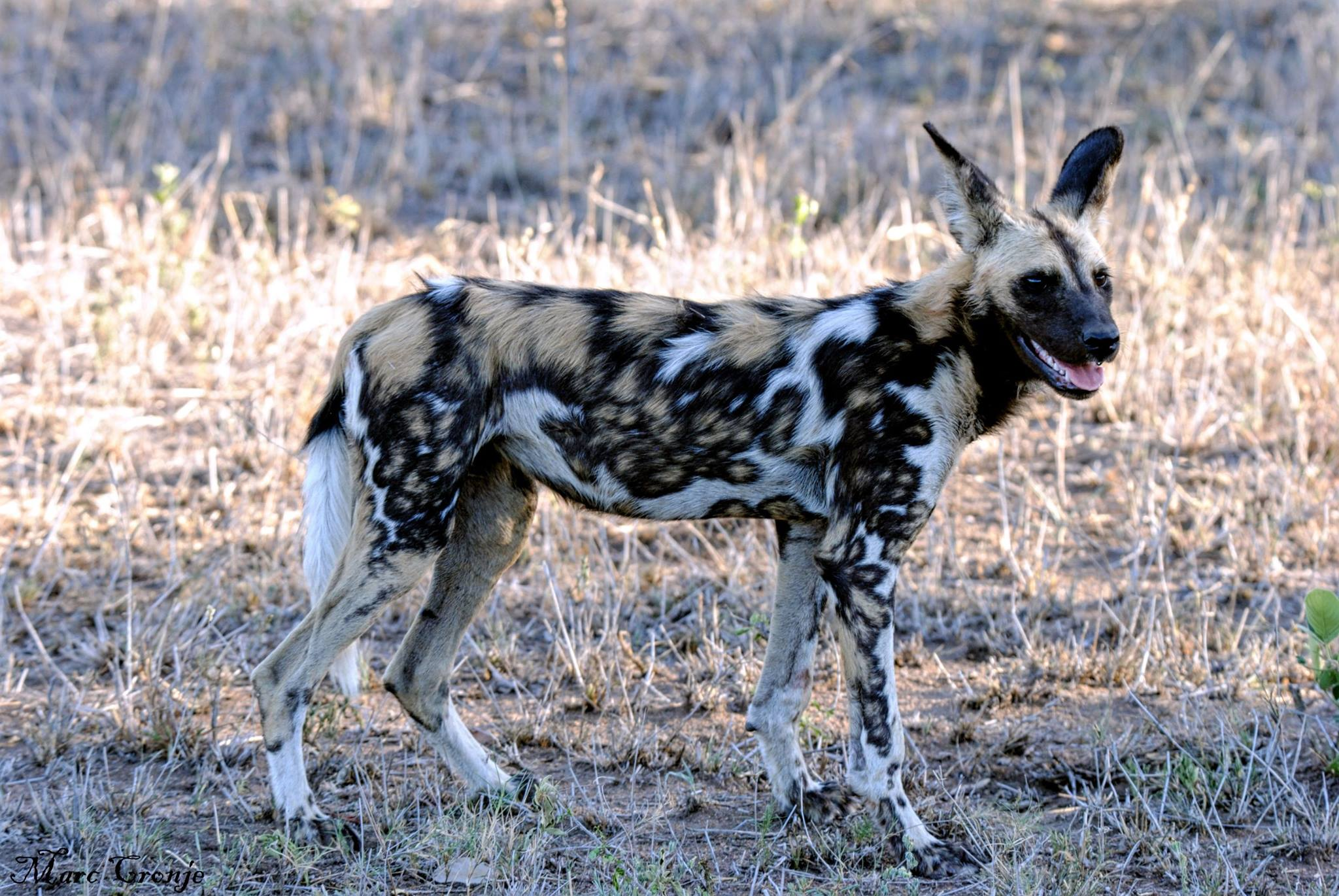 Like a modernist painting, painted dogs come in various colors and patterns. Some, like this one have a lot of white, some almost none at all. but all have white tipped tails and black noses. Destination: Kruger N.P. South Africa Image: Thanks to ©Marc Cronje, Independent Field Guide, African Wildlife Specialist.