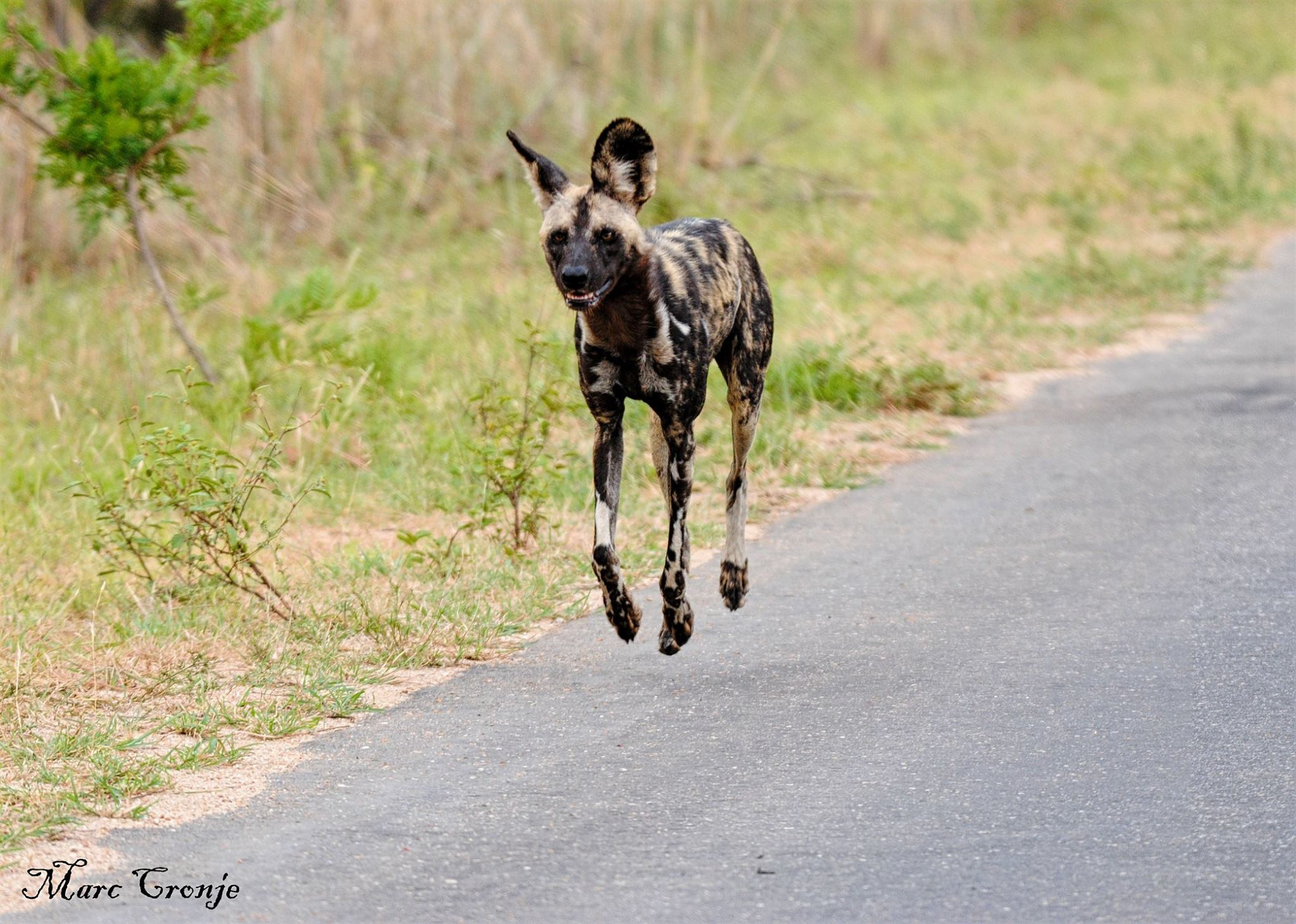 Members of a painted dog pack always seem to be having a good time together. This guy, running with his mates, is probably on a hunt. Destination: Kruger Park, South Africa Image: ©Marc Cronje, Independent Field Guide.