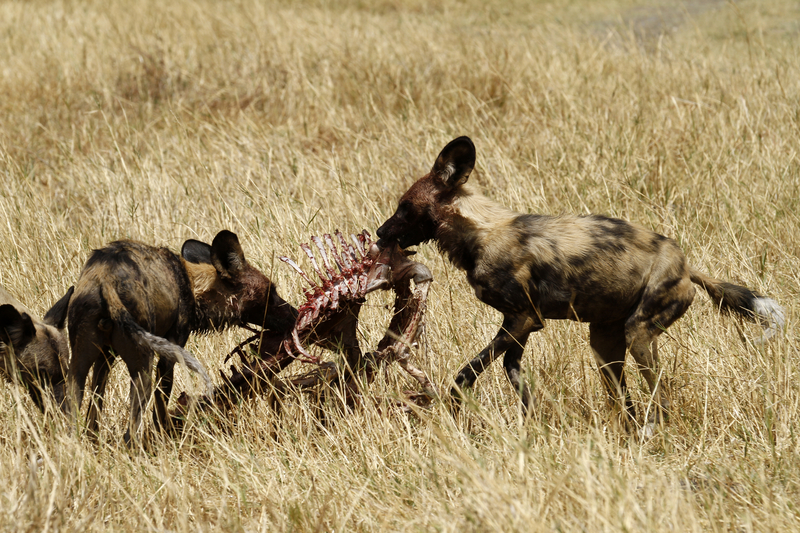 Under constant threat from hyenas and lions, painted dogs consume their kill very quickly. They will then return to the den or rest site to regurgitate their food for those left behind. Image:  ©BrianSedgbeer ⎮dreamstime.com