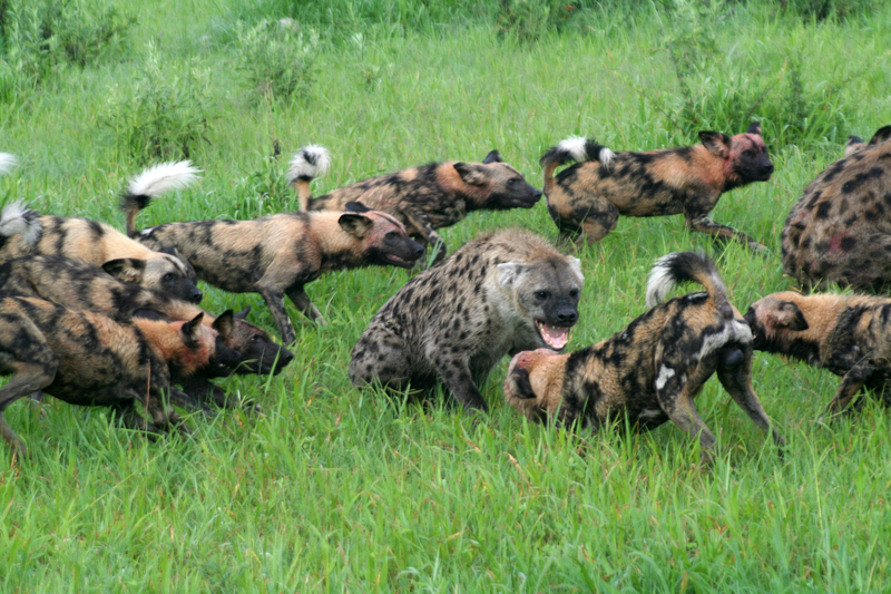 Packs work together fearlessly to defend against opportunistic hyenas who regularly attempt to steal the painted dogs' kill. Image:  ©Mtrolle⎮dreamstime.com