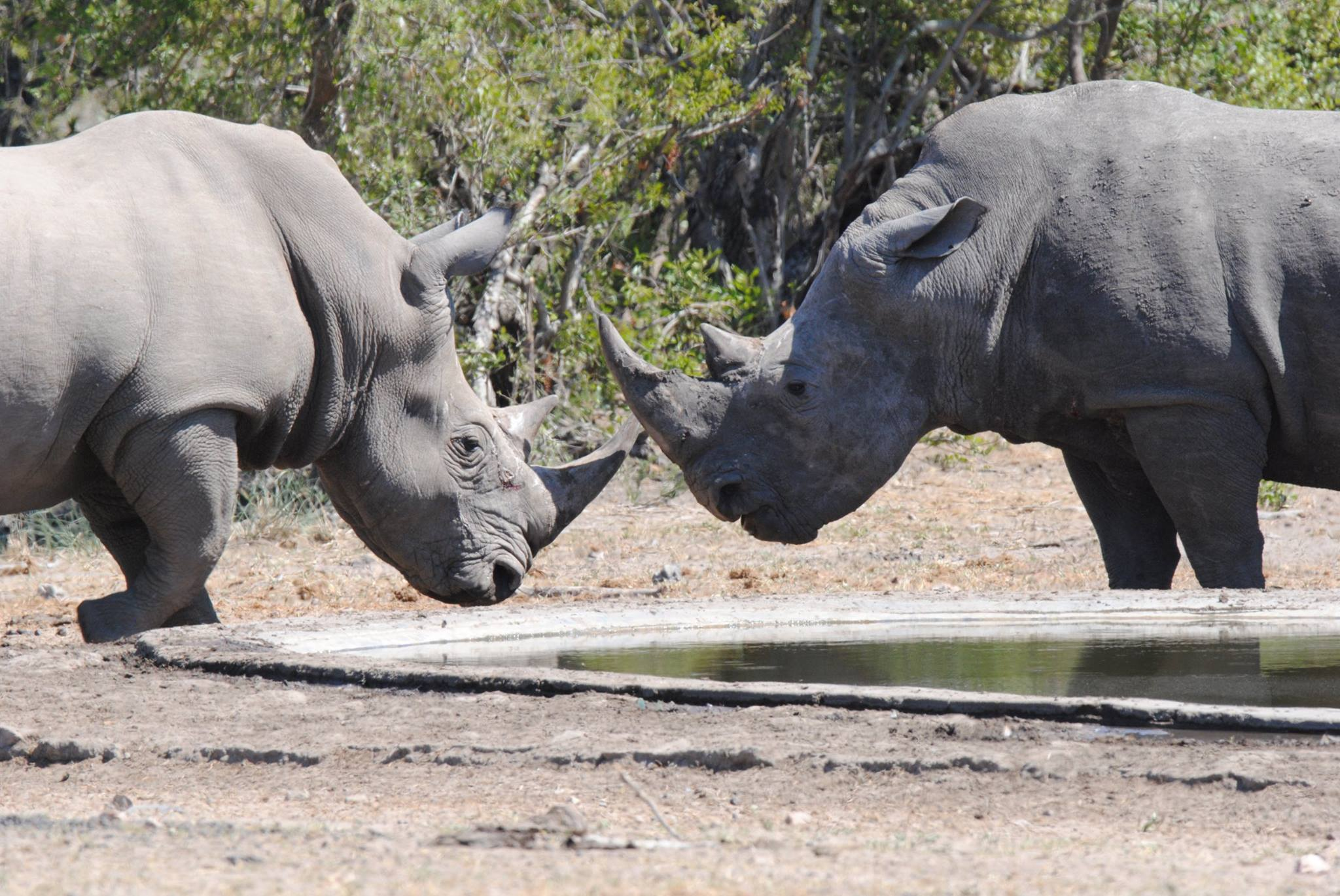 Two male white rhinos literally facing off at a water hole in Kruger National Park, South Africa. They charged each other making quite a stir. No one got hurt this time. Image: Thanks to ©Marc Cronje, Independent Field Guide.