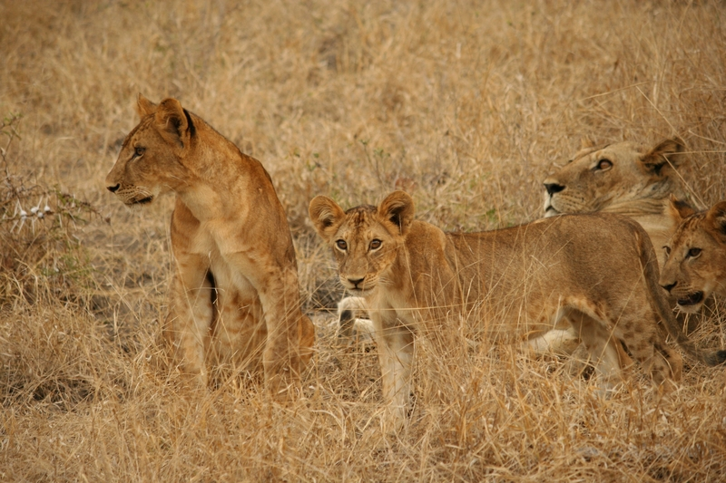 Lionesses and cubs in Selous Game Reserve, Tanzania, a UNESCO Heritage site. Only 5% of its total area is banned to hunting. Reversing the economics of hunting vs. photographic tourism could change that ratio in favor of the animals. Visit Selous. Image:  ©pegaso125⎮Dreamstome.com