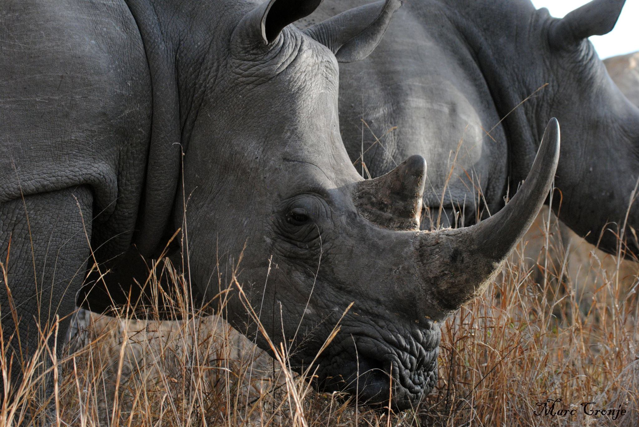 A deadly myth:  Once for ounce, More valuable than gold. Some cultures believe rhino's horn cures everything from male impotency to cancer. Education, in places like China and Vietnam, is beginning to help, but it is already too late for some rhino species. Image:   ©Marc Cronje, Independent Field Guide, Kruger National Park , South Africa