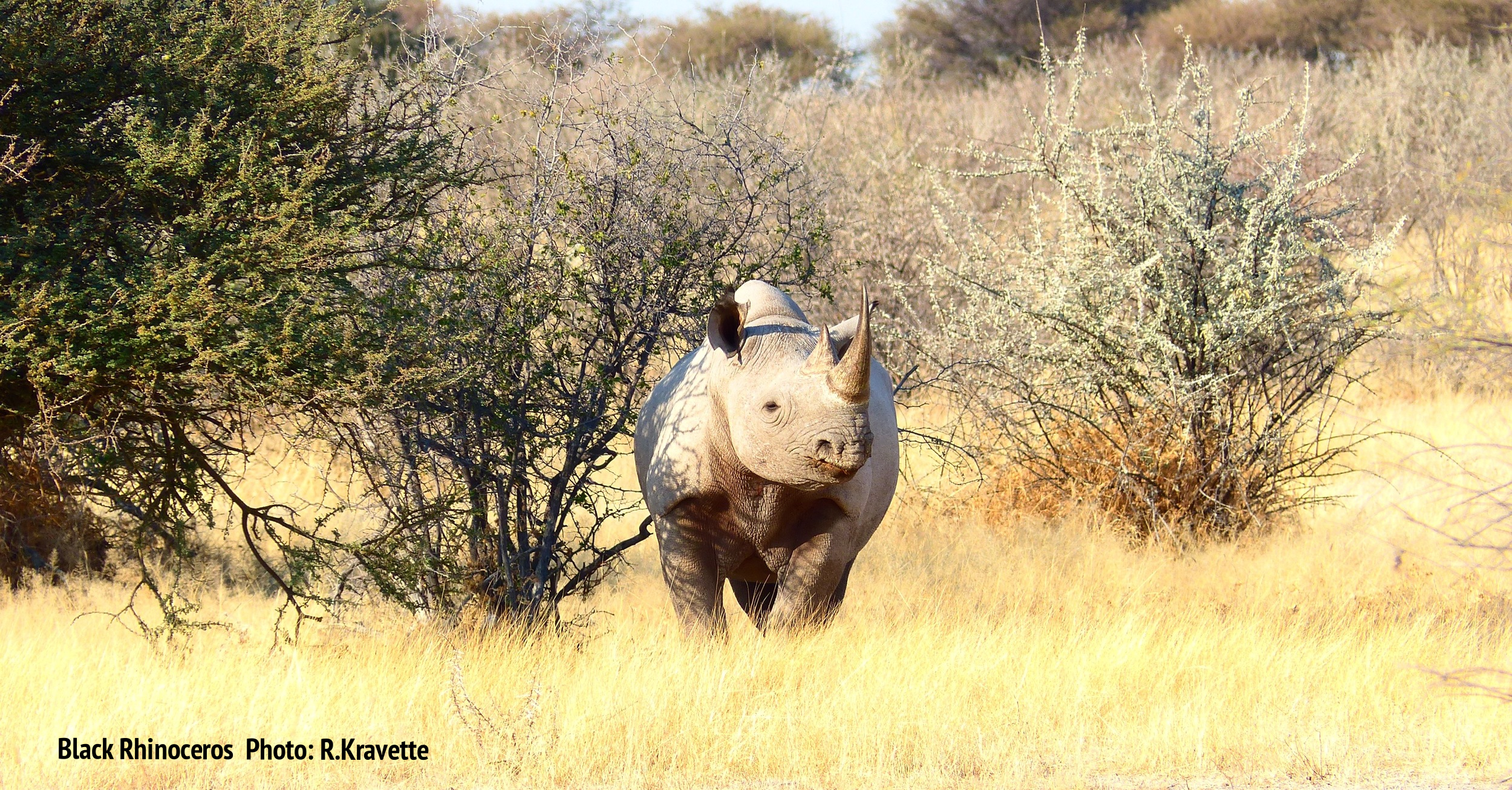 A black rhino watches us as we watch him. Etosha National Park, Namibia Image: © R. Kravette for Destination: Wildlife