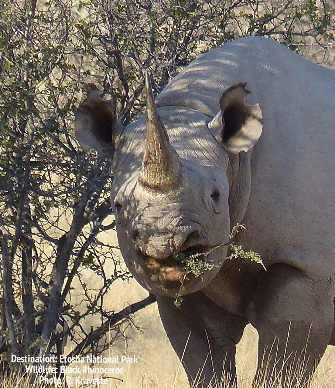 Black rhino use their tapered mouths to snip whole branches, it's white rhino cousin prefers salad without a woody component. Etosha National PArk, Namibia. Image: Wildlife: DEstinations