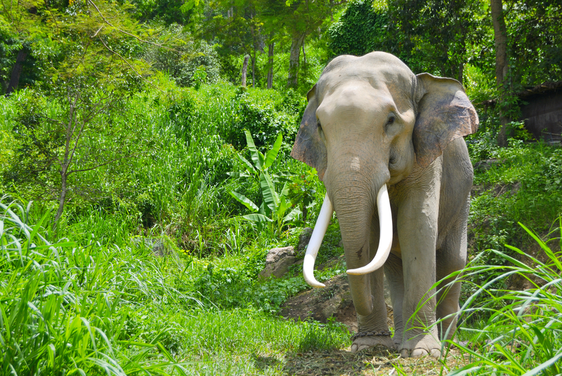 ASIAN ELEPHANTS, LIKE THIS ONE IN THAILAND, ARE SMALLER THAN THEIR AFRICAN COUSINS. NOTE THE DENTED, NOT SMOOTH SKULL, AND PROPORTIONATELY SMALLER EARS. ONLY MALE ASAIN ELEPHANTS HAVE TUSKS. IMAGE:  ©FWSTUPIDIO⎮DREAMSTIME.COM