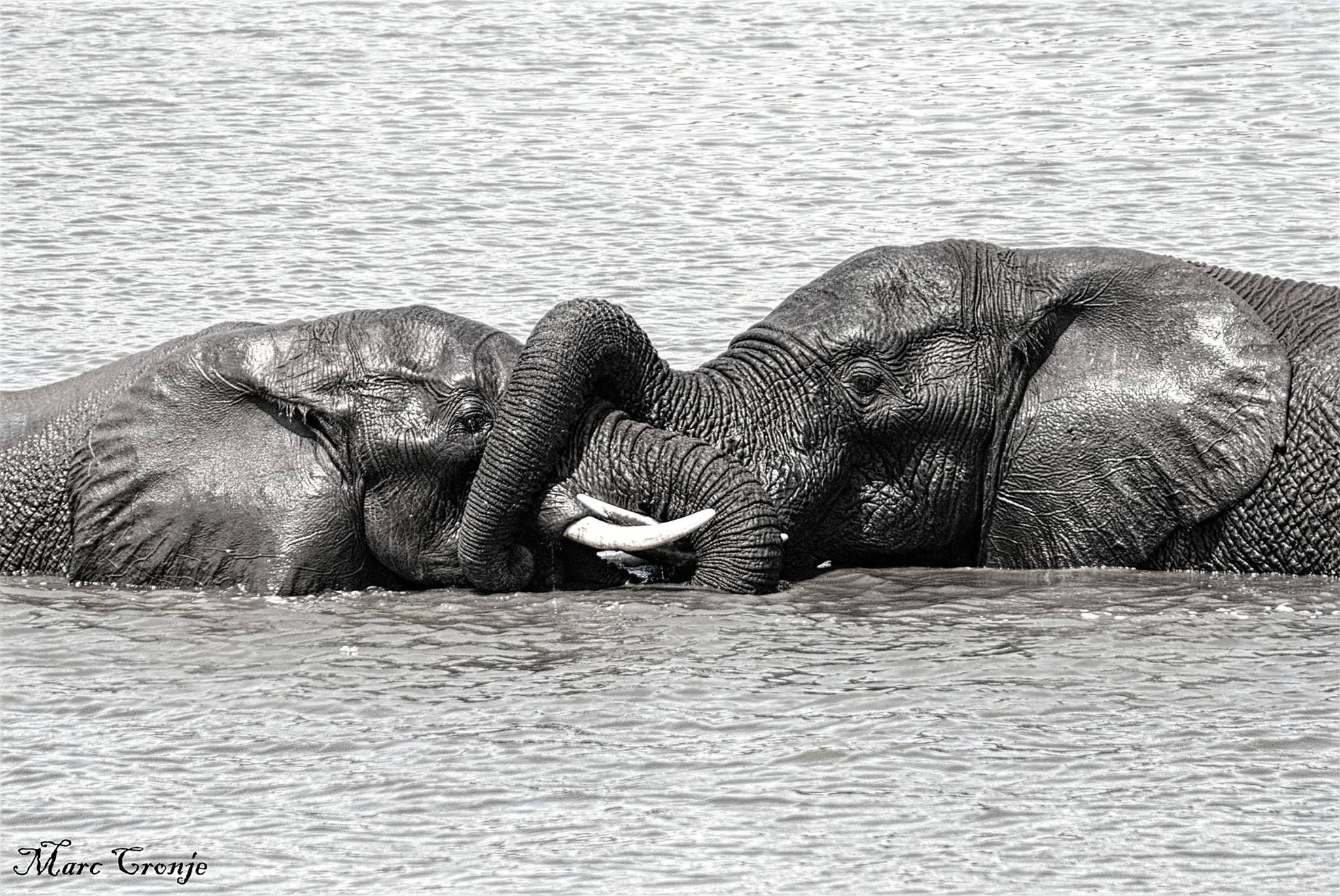 They say a sense of humor is a sign of intelligence, elephants have the largest brain of any land mammal, they love to tease and play, especially in water. Image: Thanks to  ©Marc Cronje, Field Guide,  Kruger National Park, South Africa.